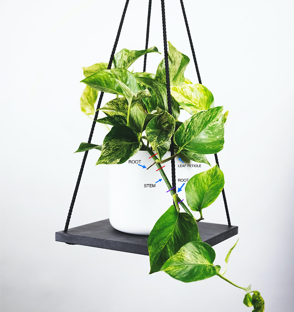 Where to Cut a Marble Queen Pothos for Propagation