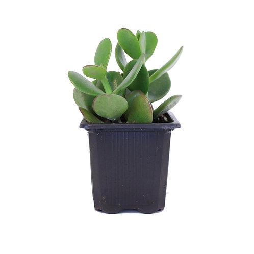 "3"" JADE PLANT"