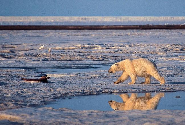 Polar_Bears_0a74f_12_0_909895657.jpg