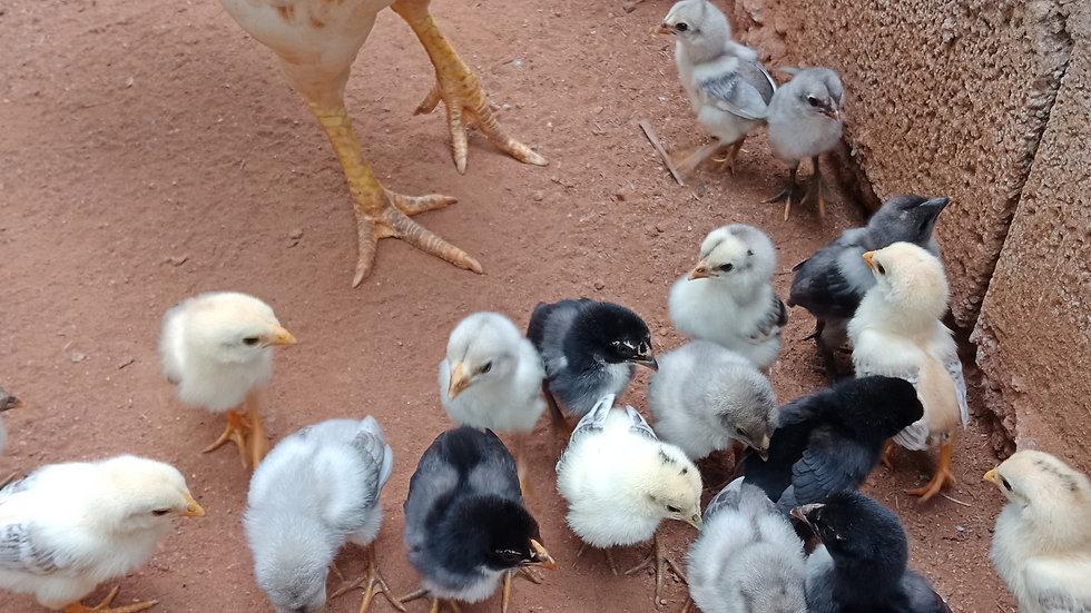 1 Month Chicks