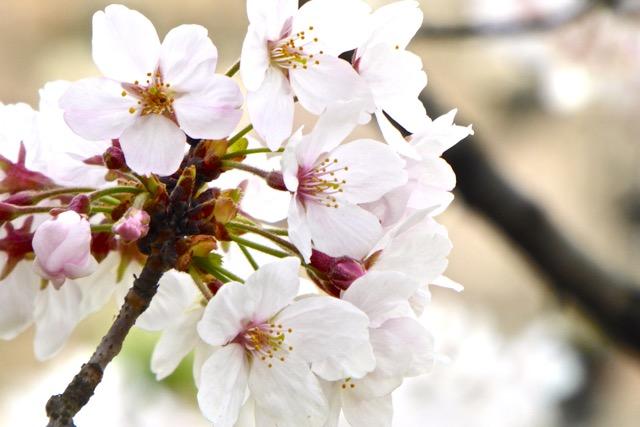 Sakura_1