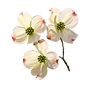 dogwood_Blooms_new.png