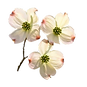 dogwood_Blooms_new_edited.png