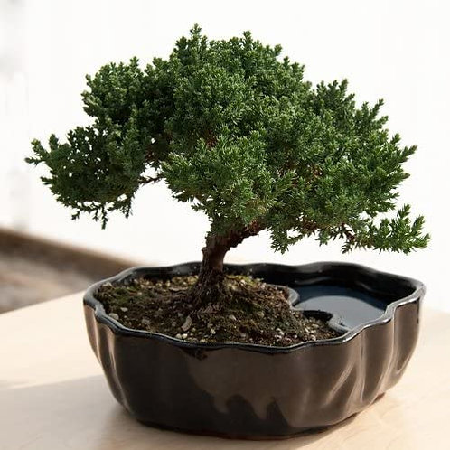 Juniper Bonsai Charged with the energy of The Mystic Eye