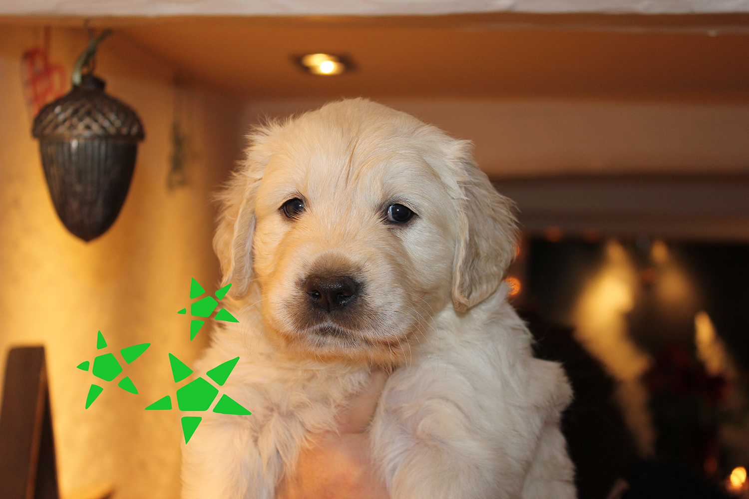 Newluck Golden Retriever | Xeen_9613