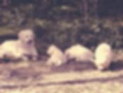 NEWLUCK Golden Retriever Kandis