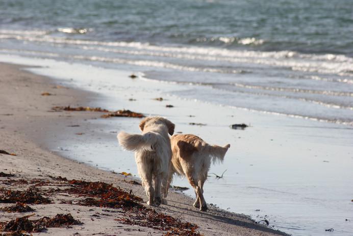 NEWLUCK Golden Retrievere strandtur