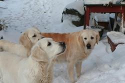 NEWLUCK Golden retriever vinter