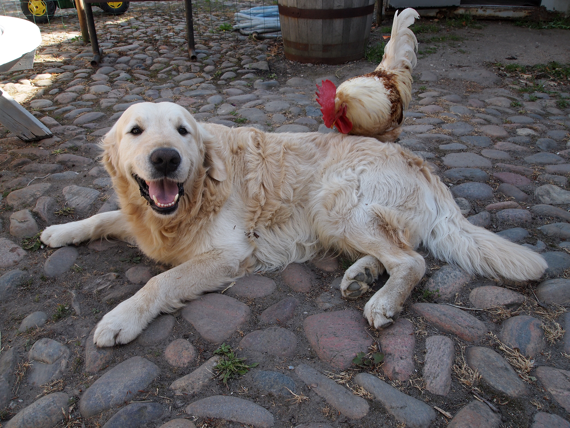NEWLUCK Golden Retriever hanhunde