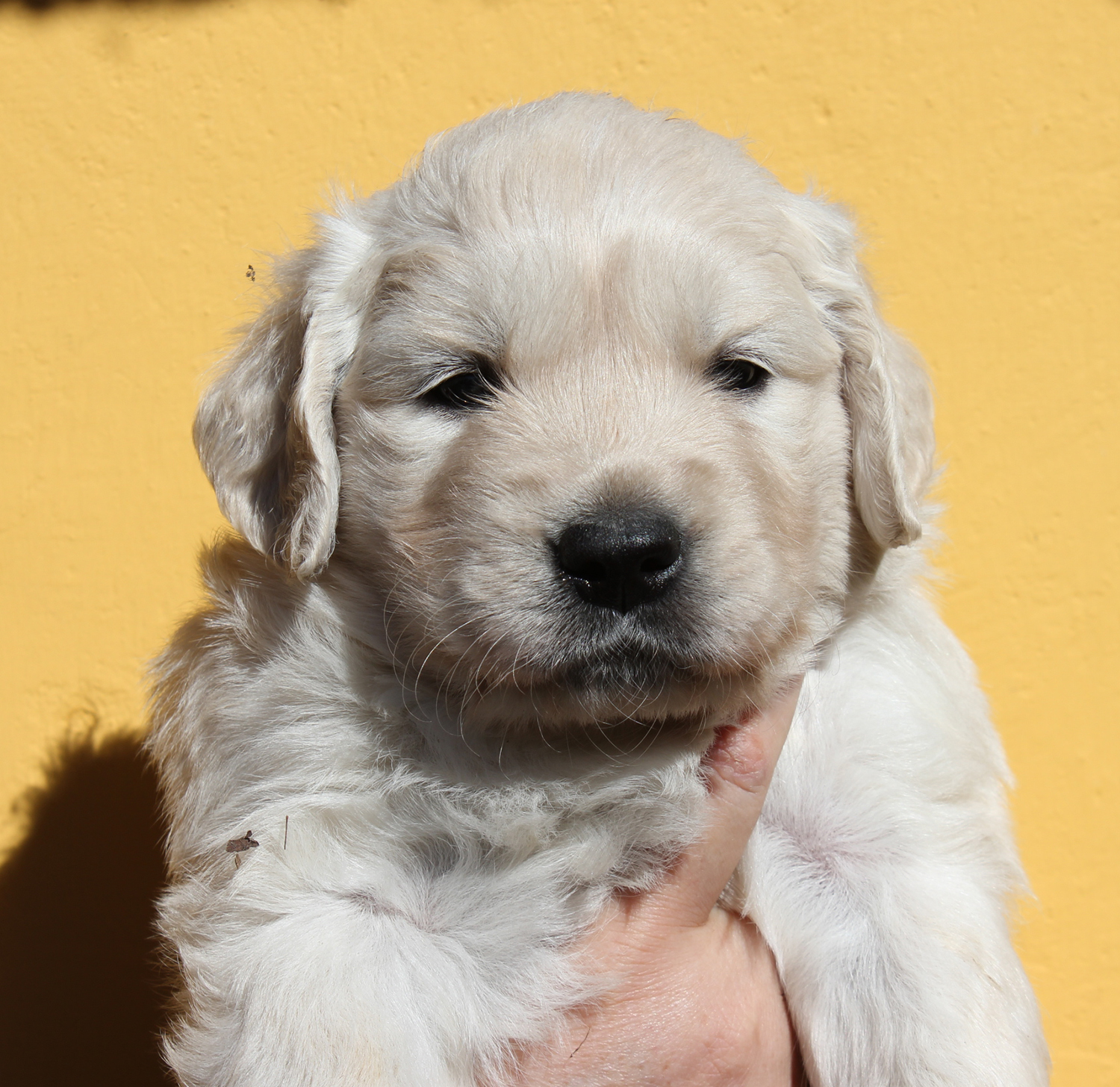 NEWLUCK Golden retriever hvalpe