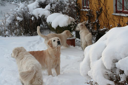 NEWLUCK Golden retriever hundeflok