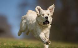 NEWLUCK Golden Retriever hanhunde