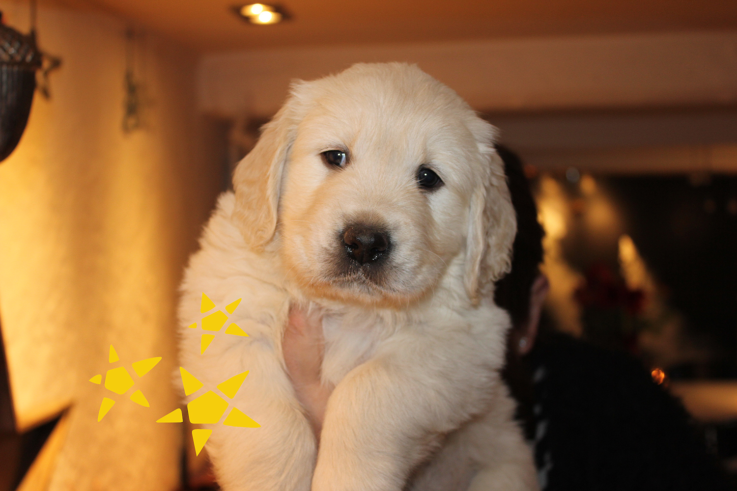 Newluck Golden Retriever | X-KULD