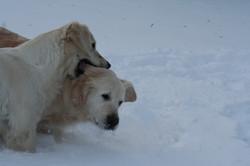 NEWLUCK Golden retriever hundeleg