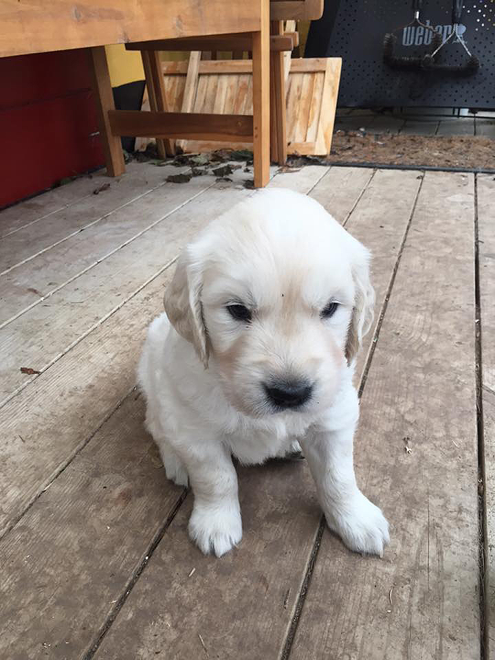 NEWLUCK GOLDEN RETRIEVER HAVLPE