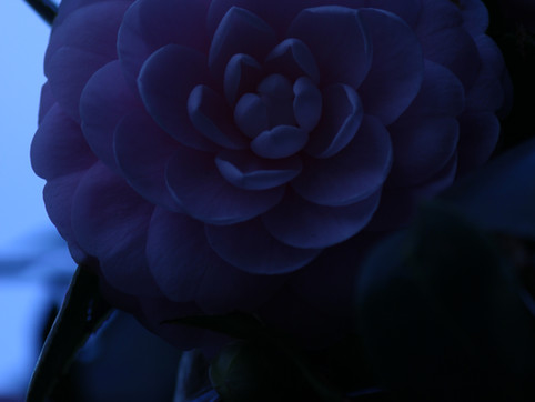Pink haze (乙女椿)