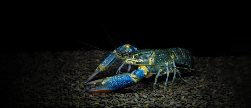 rainbow-redclaw-crayfish-yabby-aquarium_