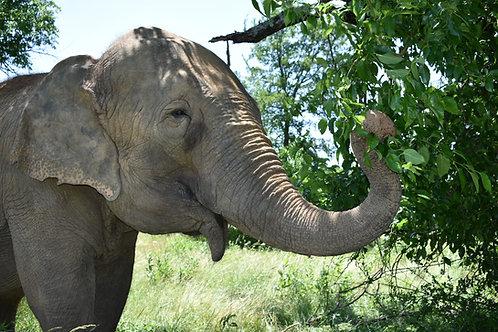 Adopt An Elephant (Youth Membership)