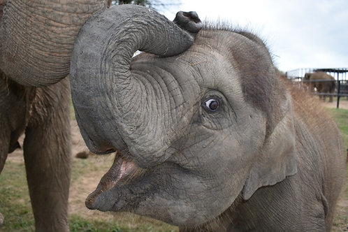 Adopt An Elephant - Dori Marie (All Ages)