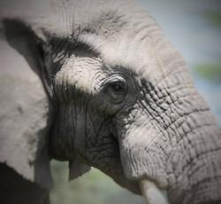 Elephant tarangire 2 (429 x 396)