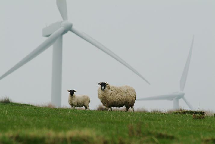 Innovair sheep.jpg
