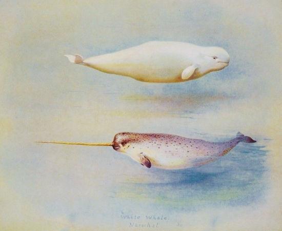 White_Whale_Narwhal_150.jpg