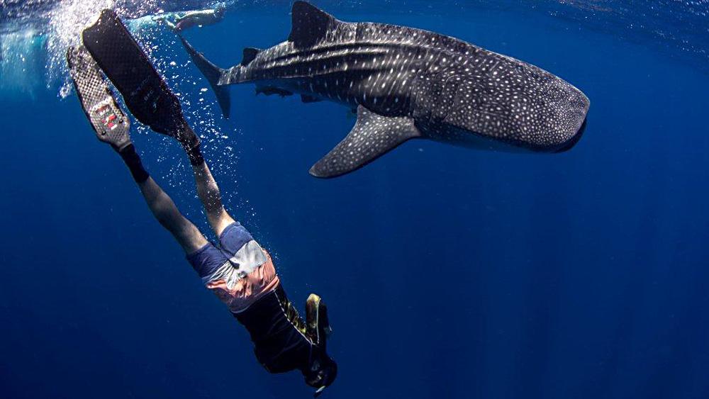yucatan-adventure-whaleshark02