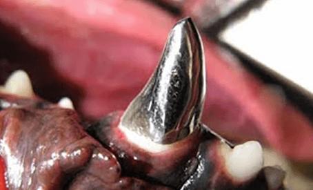 Cresce o número de implantes odontológicos em animais