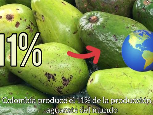 [Vídeo]¿Por qué Colombia es el cuarto productor de aguacate en el mundo?