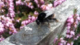 bumbling along 2 - bumble bee.jpg