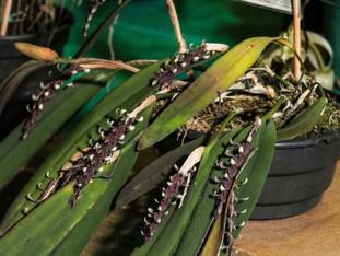 Exposição de Cattleya Labiata do CGO no Mercado Público de POA.