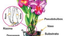 Como cuidar de sua orquídea.