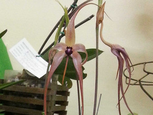 PREMIADA Bulbophyllum Equinolabium