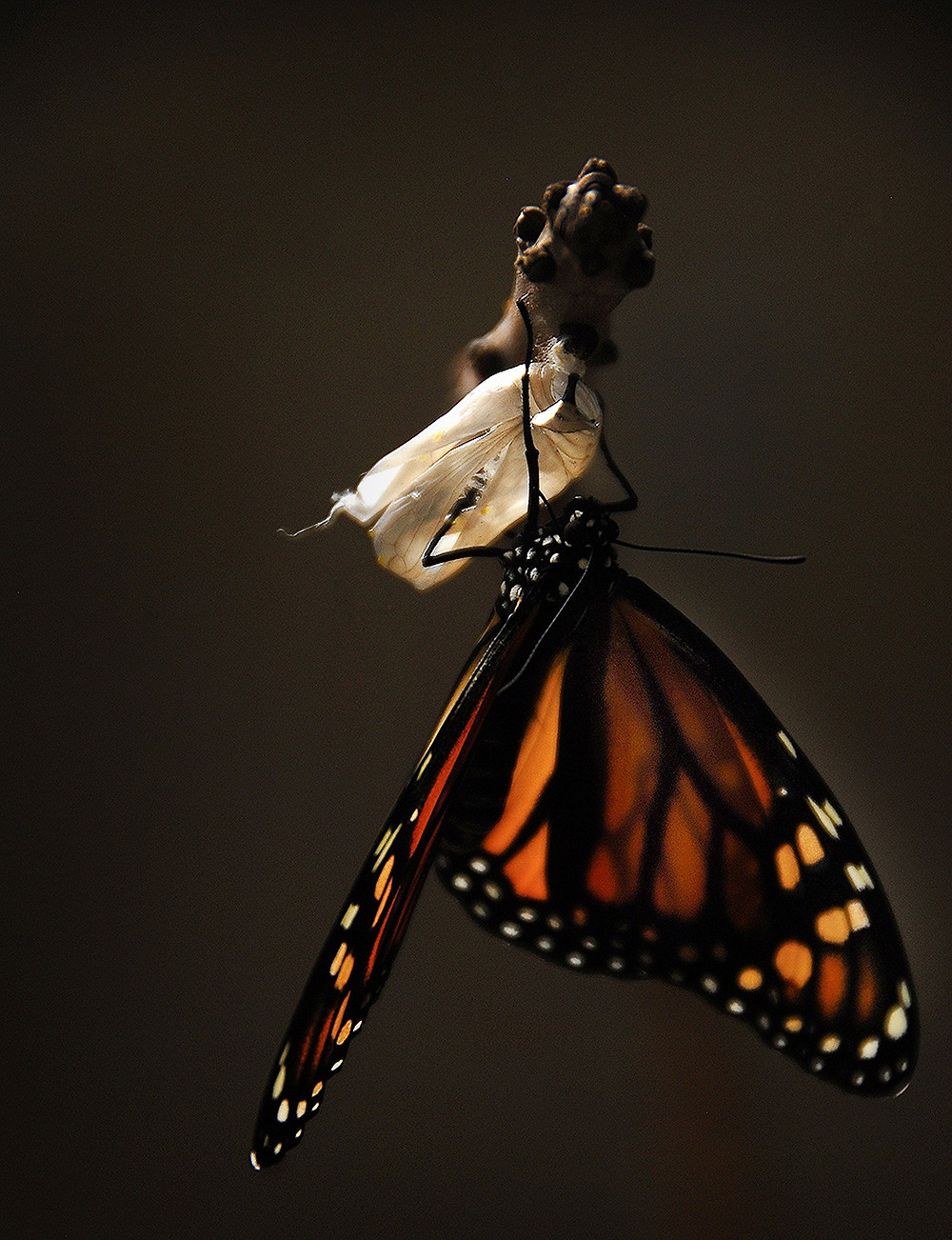 a butterfly just out of the cocoon