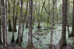 Swamp near Gainesville, FL