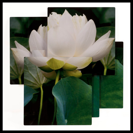 """Lotus Purity_squared""_24x24.jpg"