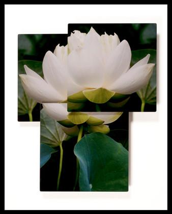 Lotus Purity