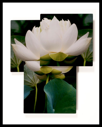 Lotus Purity