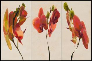 Orchid in Flight Triptych