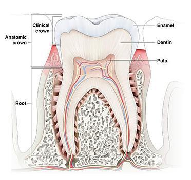 Tooth enamel crown.png
