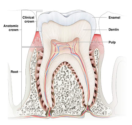 Tooth enamel crown.png