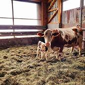 Kuh und Kalb vom Nirschlhof zeigen kuhgebundene Kälberaufzucht