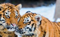 tiger-snuggling.jpg