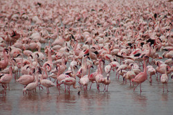 the-flamingos-of-lake-nakuru-kenya.jpg