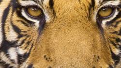 Tiger-Close-Up.jpg