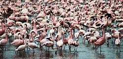 the-flamingos-of-lake-nakuru-kenya_edited.jpg