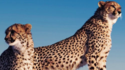 Cheetahs-on-Termite-Mound.jpg