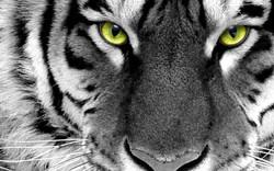 The-best-top-desktop-tiger-wallpapers-hd-tiger-wallpaper-16.jpg