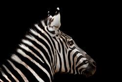 Zebra on black2 sm.jpg
