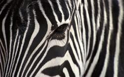 leopard-zebra.jpg